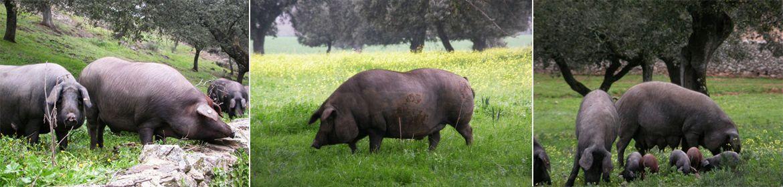 jamon iberico de bellota de cerdo iberico de dehesas de extremadura jamon jamonero cuchillo